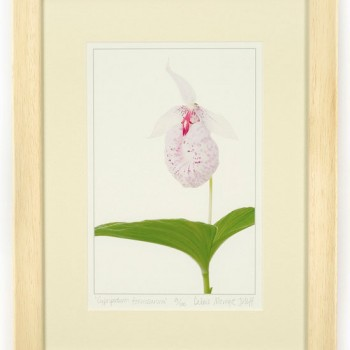 Cypripedium-formosana-45x35cm-(100)