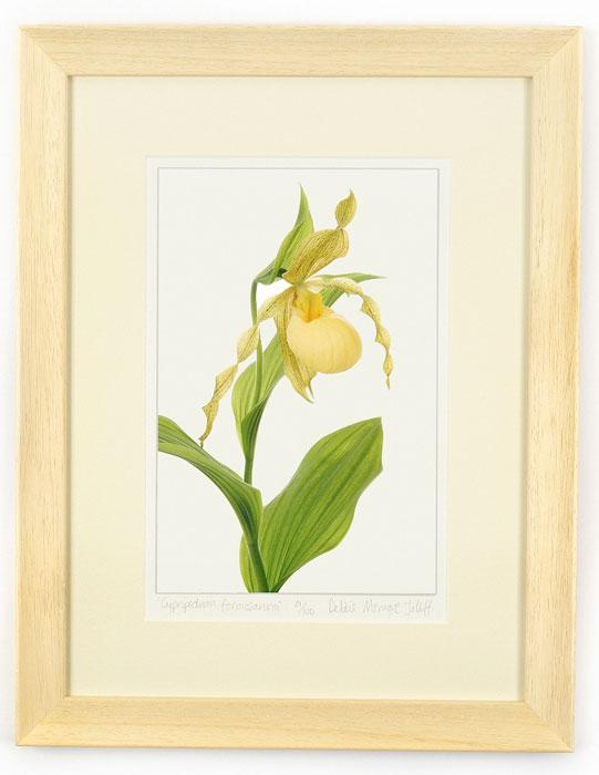 Cypripedium-pubescens-var-pubescens-45x35cm-(100)