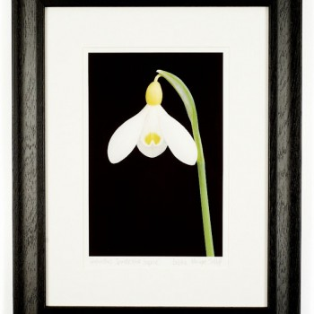 Galanthus-Spindlestone-Surprise-48x38cm