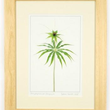 Paris-polyphylla-var.-Stenophylla-46x36cm