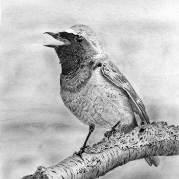 Redstart-Calling-600-web