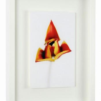 Tulipa-43x33cm